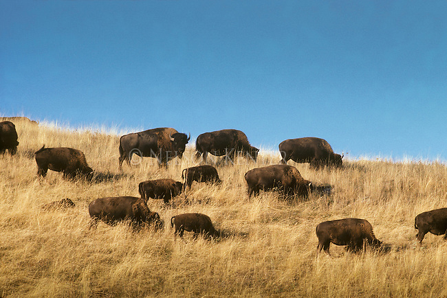 A herd of Buffalo on a grassy hill in the National Bison Range in Montana