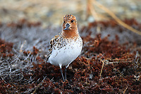 Male Spoon-billed Sandpiper. Chukotka, Russia. June.