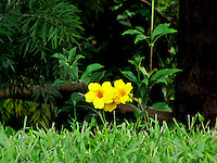 A small plant with two yellow Allamanda flowers <br /> standing amidst lush green grass<br /> just after rain
