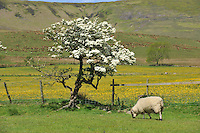 A Scottish Blackface ewe with Blackthorn tree in blossom, Whitewell, Lancashire...Copyright..John Eveson, Dinkling Green Farm, Whitewell, Clitheroe, Lancashire. BB7 3BN.01995 61280. 07973 482705.j.r.eveson@btinternet.com.www.johneveson.com