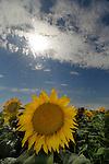 Sunflower field near Ephrata, WA.