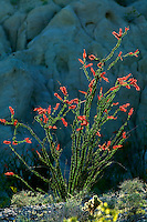 Ocotillo (Feuquieria splendens) in bloom. Anza Borrego Desert State Park, California