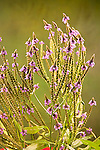 Vervain Family