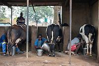 ZAMBIA, Monze Dairy Farmers, cow milking at farm / SAMBIA, Monze Dairy Farmers Cooperative, GIZ Projekt Gruene Innovationszentren, MIlchfarm von Farmerin Felicitas Munsanje, Kuehe werden per Hand gemolken