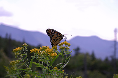 Monarch butterfly, Danaus plesxippus, poised on yellow yarrow plant overseeing the mountains of New Hampshire