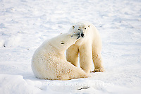 01874-110.11 Polar Bears (Ursus maritimus) near Hudson Bay, Churchill  MB, Canada