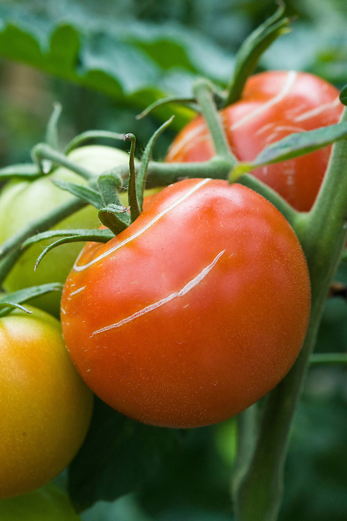 Splitting or cracking of tomato skins is usually caused by irregular watering (such as sudden rain after a long spell of dry weather) or by extremes of temperature. Once split, the tomato is prone to infection.