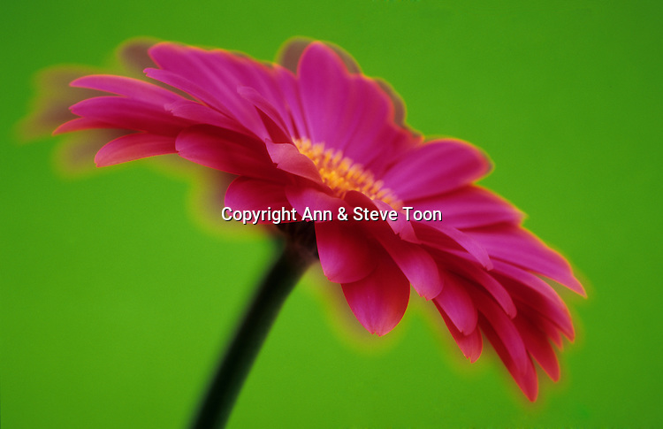 Gerbera, soft focus abstract