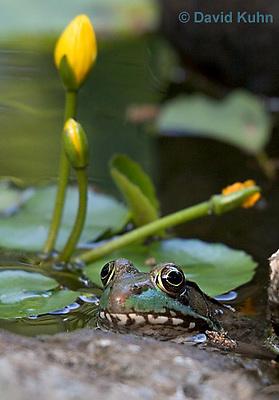0714-07oo  Green frog - Lithobates clamitans, formerly Rana clamitans © David Kuhn/Dwight Kuhn Photography