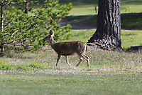 Wild deer on course at Monterey Peninsula CC during Saturday's Round 3 of the 2018 AT&amp;T Pebble Beach Pro-Am, held over 3 courses Pebble Beach, Spyglass Hill and Monterey, California, USA. 10th February 2018.<br /> Picture: Eoin Clarke | Golffile<br /> <br /> <br /> All photos usage must carry mandatory copyright credit (&copy; Golffile | Eoin Clarke)