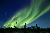 Northern lights swirl over spruce trees and the Brooks Range mountains, Arctic, Alaska.