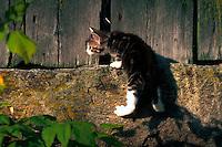 Domestic short hair kitten climbing a stone wall.
