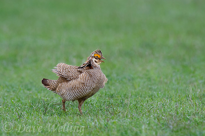 572110261 a wild lesser prairie chicken tympanuchus pallidicintus displays and struts on a lek on a remote ranch near canadian in the texas panhandle