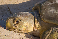 Australian flatback sea turtle, Natator depressus, nesting female with excretions from salt glands leaking out of eyes as if crying tears, Crab Island, off Cape York Peninsula, Torres Strait, Queensland, Australia