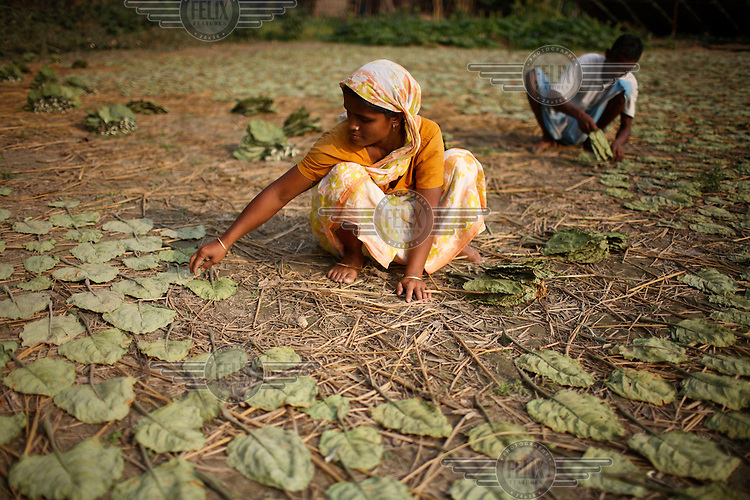 A family dries tobacco leaves in the open air. Tobacco is one of the most important crops in this northern part of Bangladesh.