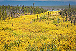 Bright yellow fall colored tundra with boreal forest along the Dalton Hwy, Alaska. The pipeline is in the scene, Autumn.