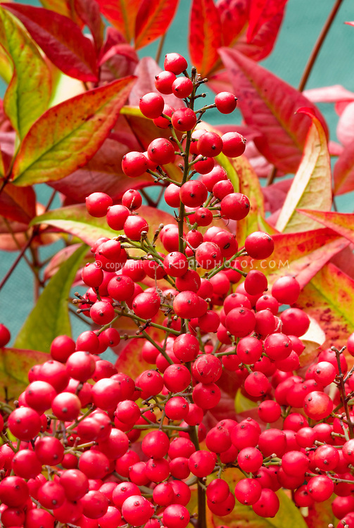 Nandina domestica Richmond in fruits berries berry and fall foliage color