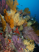 RK0782-D. reef covered in gorgonian sea fans (Mopsella sp. ?) and Yellow Black Coral (Antipathes galapagoensis). Galapagos Islands, Ecuador, Pacific Ocean.<br /> Photo Copyright &copy; Brandon Cole. All rights reserved worldwide.  www.brandoncole.com