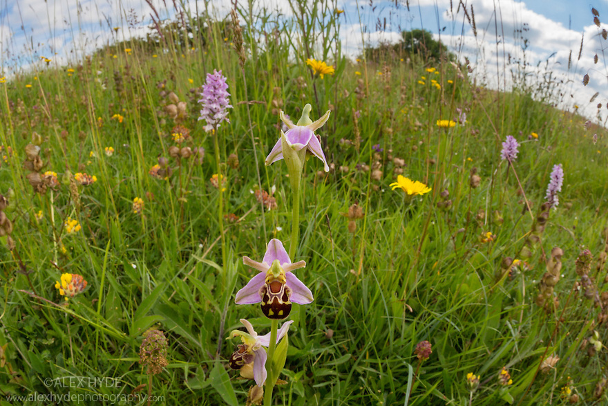 Common Spotted Orchids (Dactylorhiza fuchsii} and Bee Orchid {Ophyris apifera} photographed with fisheye lens to show lowland calcareous grassland habitat. Peak District National Park, Derbyshire, UK. June.