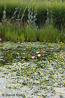 0723-1005  Ornamental Garden Pond with Full Bloom Water Lilies - Nymphaea  © David Kuhn/Dwight Kuhn Photography