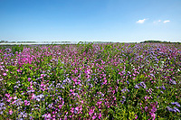 Wild flower mix - Lincolnshire, May