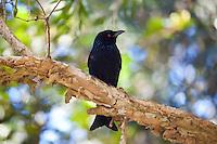 Spangled Drongo, Kooloobung Crk Park, Port Macquarie, NSW, Australia