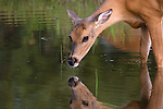 White-tailed (Odocoileus virginianus) doe standing in a pond drinking water.  Summer.  Winter, WI.