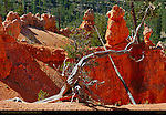 Dead Limber Pine Tree, Queen's Garden Trail, Bryce Canyon National Park, Utah