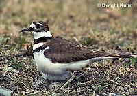 1K04-003z  Killdeer - adult sitting on eggs - Charadrius vociferus