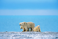 Polar Bears--sow with cubs--along the Beaufort Sea coast, Arctic National Wildlife Refuge, Alaska.  Oct.
