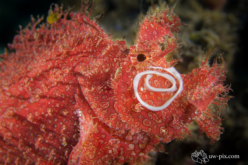 Weedy scorpionfish (Rhinopias frondosa) with nudibranch egg spiral on the cheeck