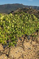 France, Aude (11), Cucugnan, le  vignoble AOC Corbières,  et en fond le moulin d'Omer et le château cathare de Quéribus   // France, Aude, Cucugnan, the  vineyard  Corbieres (AOC) , in the background, Omer windmill and Queribus cathar castle