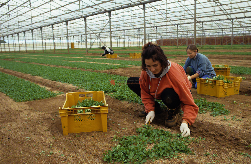 Workers harvesting green salad
