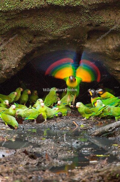 Parrot Lick, Orellana, Ecuador