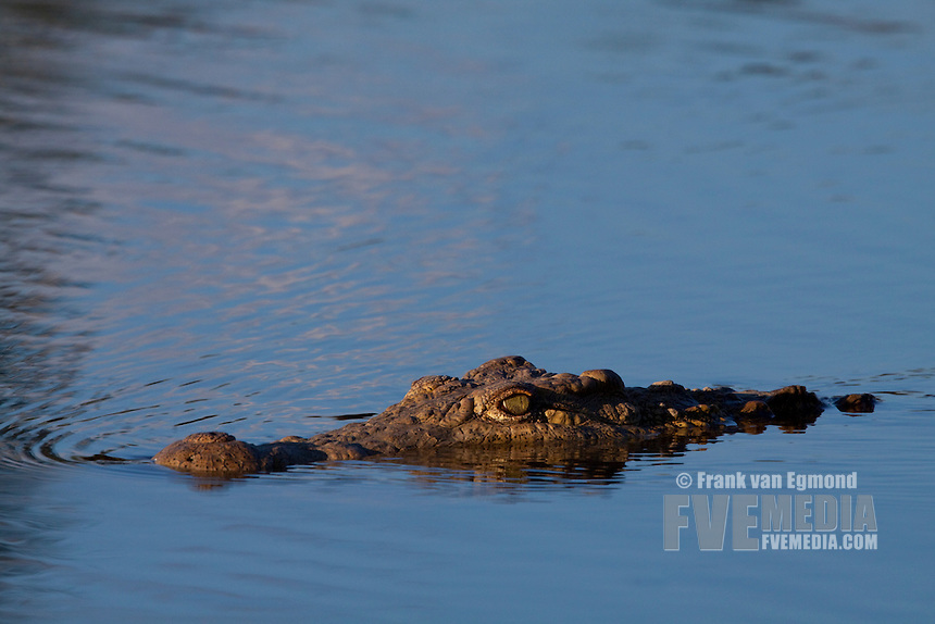 Nile Crocodile (Crocodylus Niloticus)..In the water..June 2009, winter..Balule Private Nature Reserve, York section..Greater Kruger National Park, Limpopo, South Africa.