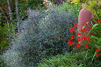 Corokia cotoneaster Wire-netting bush, silver foliage shrub next to terra cotta accent pot in Albers Vista Gardens with Crocosmia 'Lucifer'