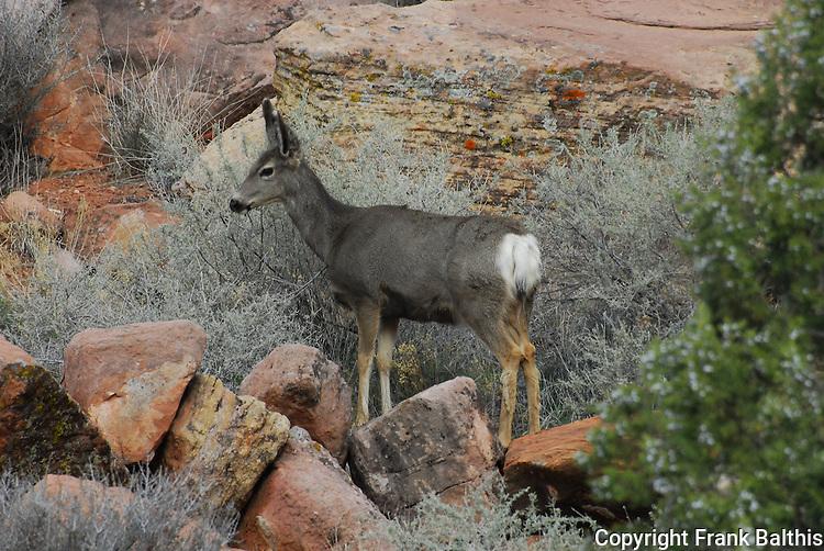 Mule deer in Zion NP