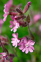 Alpine Red Campion, Silene dioica - Grindelwald - Bernese Swiss Alps Switzerland