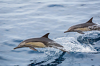long-beaked common dolphin, Delphinus capensis, pair, leaping, jumping, Isla Danzante, Baja California Sur, Mexico, Pacific Ocean
