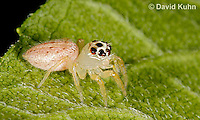1231-0901  White Jumping Spider, Thiodina sylvana  © David Kuhn/Dwight Kuhn Photography
