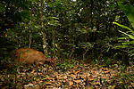 Ogilby's Duiker (Cephalophus ogilbyi) in tropical rainforest, Lope National Park, Gabon