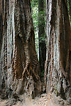 coast redwoods at Big Basin Redwoods State park
