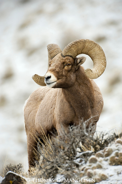Portrait of a bighorn sheep ram standing in sagebrush in Yellowstone National Park, Wyoming.