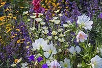Catmint - Nepeta 'Walkers Low', Pale Evening Primrose - Oenothera pallida, and annual wildflowers bright yellow Layia gaillardioides and pale yellow Layia glandulosa; Kate Frey Garden