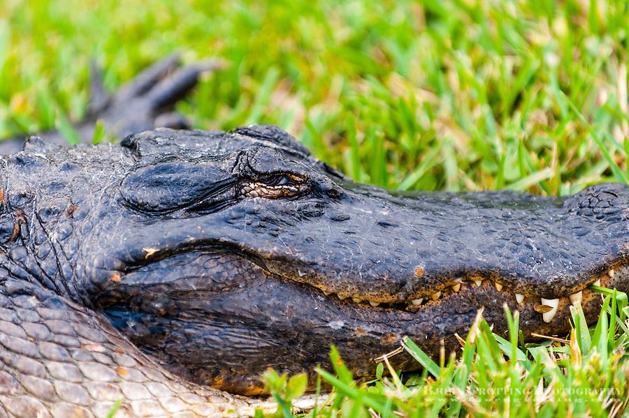 US, Florida, Everglades, Shark Valley. Close-up of an American alligator.
