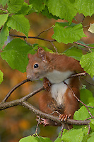 Europäisches Eichhörnchen, junges Eichhörnchen klettert in einem Haselnuss-Strauch, Sciurus vulgaris, European red squirrel, Eurasian red squirrel