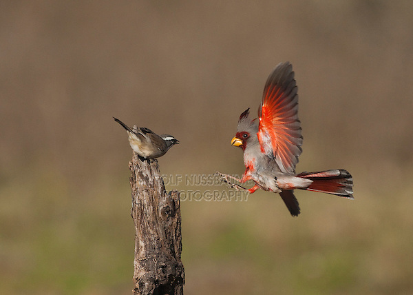 Pyrrhuloxia (Cardinalis sinuatus), male and Black-throated Sparrow (Amphispiza bilineata) perched, Starr County, Rio Grande Valley, South Texas, USA