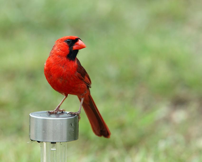 Northern Cardinal on solar light perch.