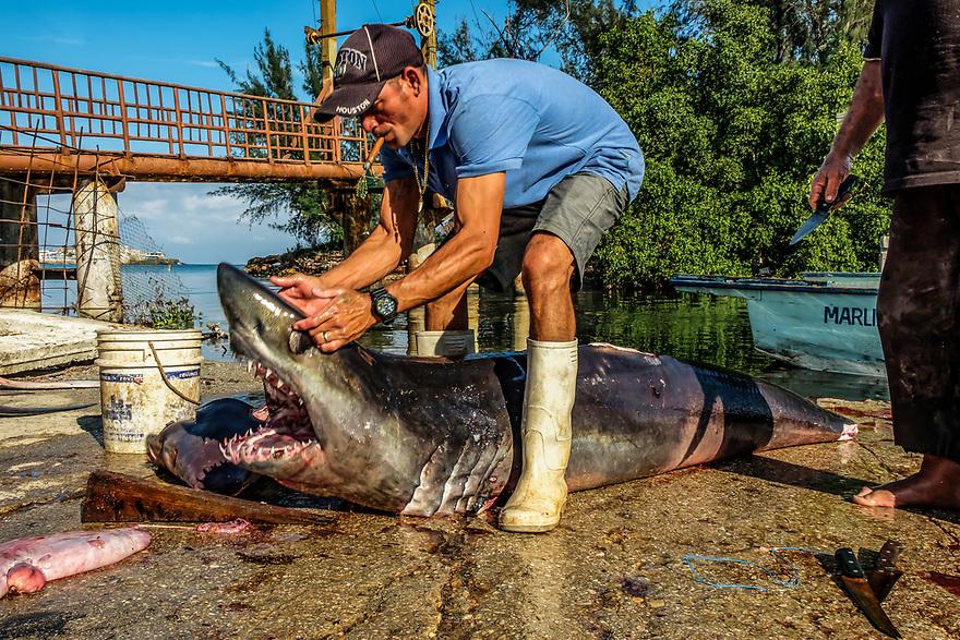 Fisherman at Cojimar, Cuba fishing base opens shark jaws, other fishermen wait to cut it up
