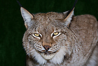 657140005 portrait of a captive lynx felis lynx that is a wildlife rescue native to the northern tier of north america